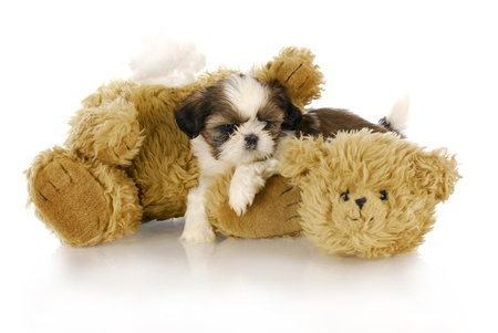 shih: cute shih tzu puppy laying beside ripped and torn teddy bear with reflection on white background