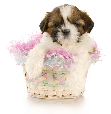 shih: shih tzu puppy sitting in easter basket with reflection on white background Stock Photo