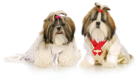 cute shih tzu puppies dress up as bride and groom on white background photo
