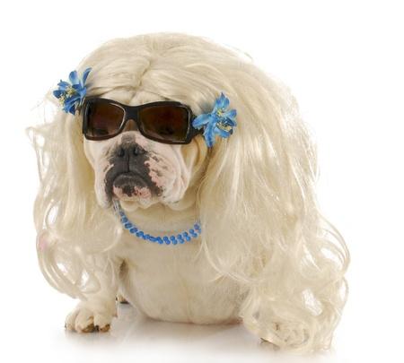 english bulldog wearing blonde wig and blue jewelry on white background Stock Photo - 8481478
