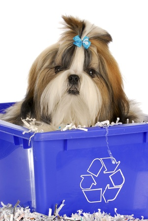adorable shih tzu puppy sitting in recycle bin on white background photo