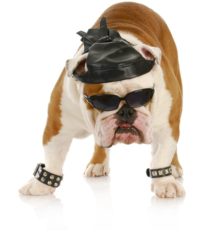 english bulldog dressed up like a tough biker with leather skull cap on white background photo