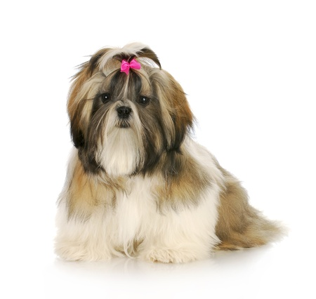 shih: shih tzu puppy with pink bow in hair sitting with reflection on white background