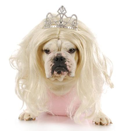 english bulldog dressed up like a princess with reflection on white background photo