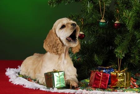 cocker spaniel puppy under christmas tree on green background photo