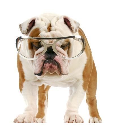 english bulldog wearing large glasses standing on white background Stock Photo - 8492873