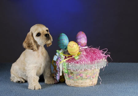 beside: cocker spaniel sitting beside easter basket on blue background
