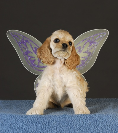 cocker spaniel puppy with angel wings sitting on blue blanket photo