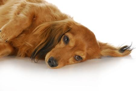 miniature breed: dachshund de pelo largo en miniatura que se establecen con una reflexi�n sobre fondo blanco Foto de archivo