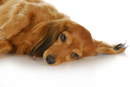 lying on side: long haired miniature dachshund laying down with reflection on white background
