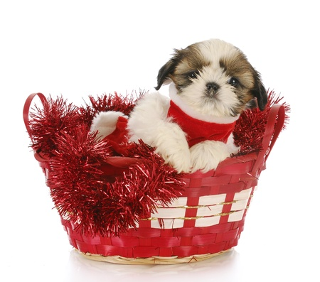shih: shih tzu puppy sitting in red christmas basket with reflection on white background