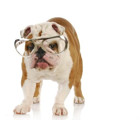 english bulldog wearing large glasses with reflection on white background photo