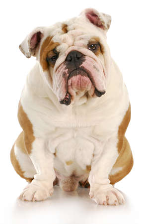 indoor shot: english bulldog sitting looking at viewer with reflection on white background