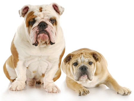 pups: two english bulldogs with reflection on white background