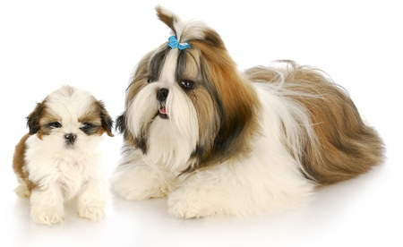 tzu: shih tzu mother and puppy with refection on white backround