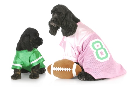cocker spaniel puppies wearing football jersies with reflection on white background photo