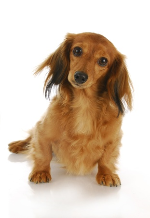 cute dachshund looking at viewer with reflection on white background Stock Photo - 8578946