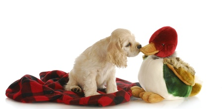 sniffing: hunting dog - adorable cocker spaniel puppy sniffing stuffed duck on white background