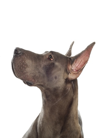 great: great dane looking up with cropped ears on white background