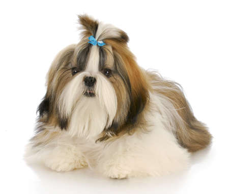 shih: shih tzu puppy wearing blue bow laying down with reflection on white background