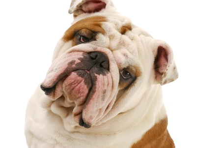 questions: english bulldog head portrait on white background