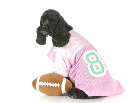 cocker spaniel wearing pink jersey sitting beside stuffed football on white background photo
