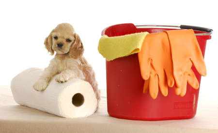 pee: cocker spaniel puppy laying beside bucket and roll of paper towels on white background
