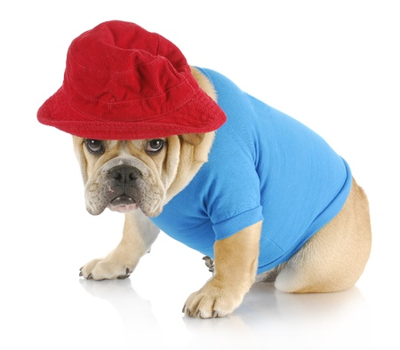 english bulldog with guilty expression wearing blue shirt and red hat on white background photo