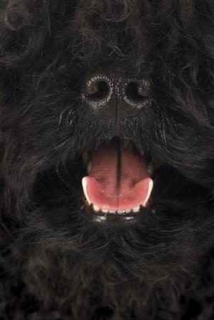 herding dog: dog panting - corded puli panting - hungarian herding dog