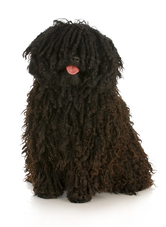 corded puli - hungarian herding dog with reflection on white background