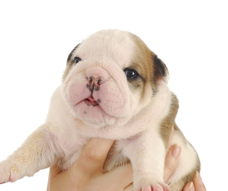 newborn puppy - hands holding on to three week old english bulldog puppy that is dirty from being weaned onto pablum Stock Photo - 8622530