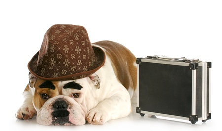 wrinkled brow: english bulldog dressed up like a business man with dark eyebrows and mustache on white background Stock Photo