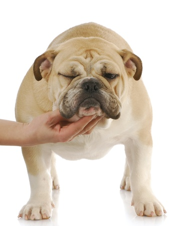 groomer: funny dog - hand holding head up of bulldog with funny expression on white background Stock Photo