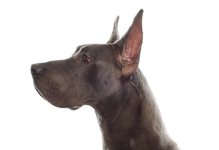 great dane head profile with ears cropped on white background Stock Photo - 8666900