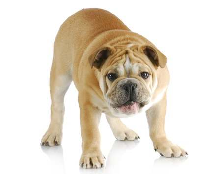 photo studio: english bulldog standing barking at viewer with reflection on white background