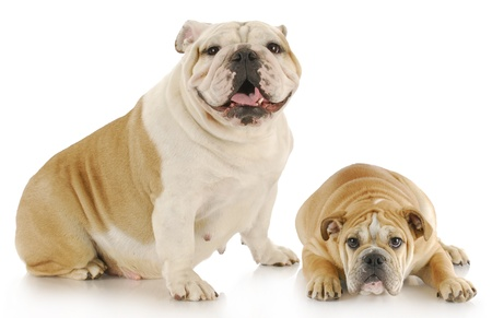 english bulldog mother and puppy with refection on white background photo