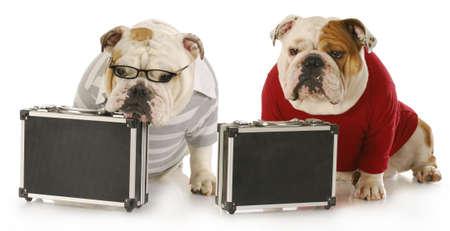 desperate: dos perros de trabajo - bulldog ingl�s vistiendo ropa y llevando maletines con reflexi�n sobre fondo blanco Foto de archivo