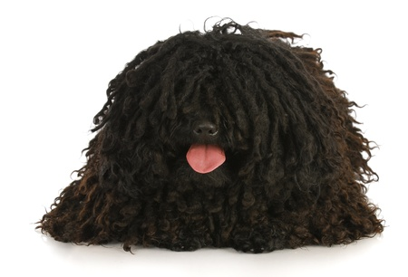corded: corded puli panting - hungarian herding dog laying down on white background