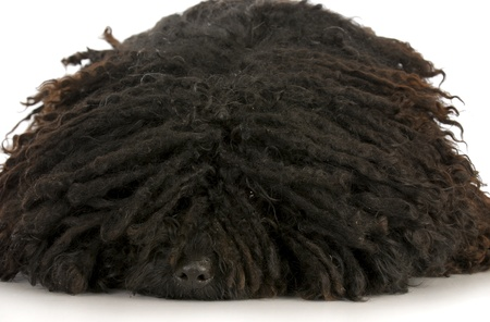 corded: corded puli - hungarian herding dog laying down with reflection on white background