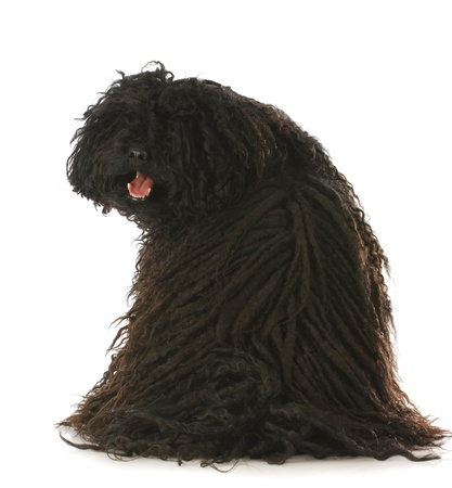 looking at viewer: corded puli sitting with back to viewer looking over shoulder with reflection on white background Stock Photo
