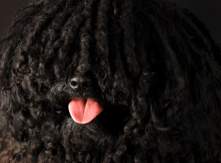 corded: corded puli portrait on black background - hungarian herding dog Stock Photo