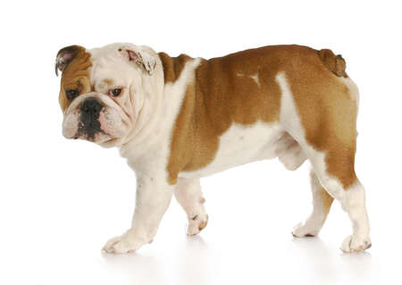 dog grooming: english bulldog walking away looking at viewer with reflection on white background Stock Photo