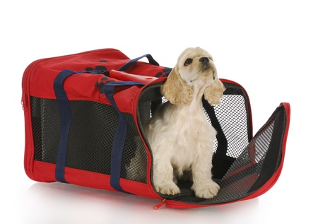 puppy in a crate - american cocker spaniel in a red carrying bag photo