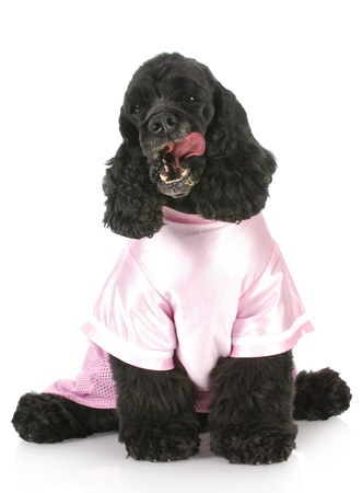 cocker spaniel licking lips wearing pink shirt with reflection on white background photo