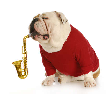 blow: bulldog inglese suonare uno strumento musicale con la riflessione su sfondo bianco