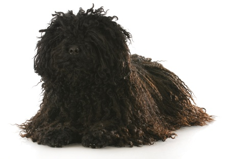 corded: corded puli laying down with reflection on white background