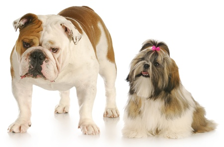 shih looking up to smug looking english bulldog with reflection on white background photo