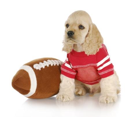 cute cocker spaniel puppy wearing football jersey sitting beside stuffed football Stock Photo - 8824970