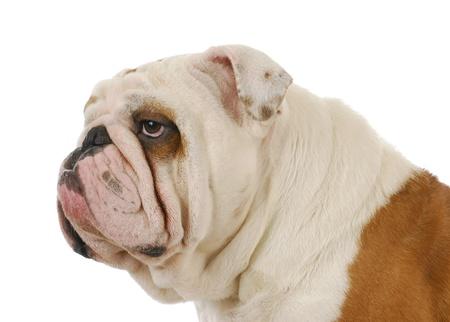 english bulldog head profile on white background photo