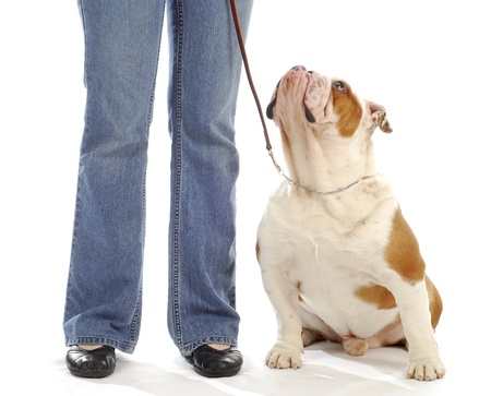 obedience training - english bulldog sitting looking up at handler on white background photo